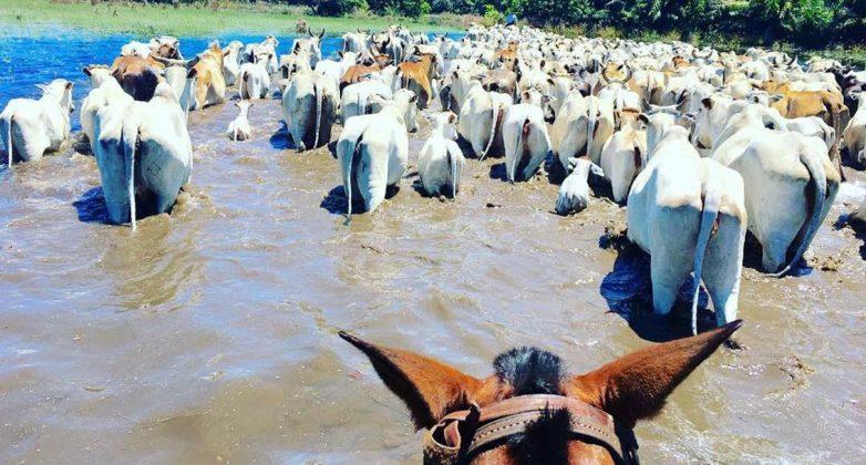 Cheia anormal no Pantanal Sul obriga a retirada urgente do gado, alerta Sindicato Rural de Corumbá